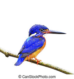 male Blue-eared Kingfisher - Beautiful blue Kingfisher, male...
