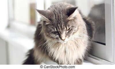 Beautiful blue maine coon cat on windowsill and looking to a window in autumn season. Change focus to outdoor