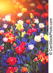 Beautiful blue muscari and multicolor tulips. Spring flowers