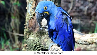 Beautiful Blue Parrot Playing With a Stone