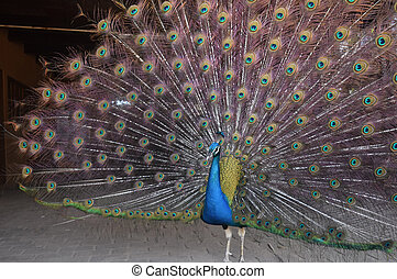 Beautiful blue peacock with its feathers extended