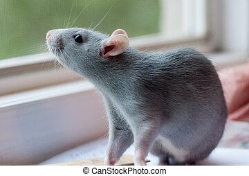 rat sitting near the window