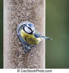 Beautiful Blue Tit Eurasian Cyanistes Caeruleus bird on garden feeder