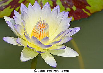 waterlily - Beautiful blue waterlily in the pond