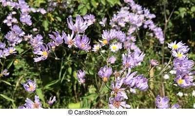 Beautiful, blue wild flowers