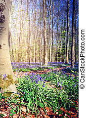 Beautiful bluebells in spring forest