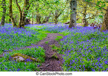 Beautiful bluebells in the forest of Scotland