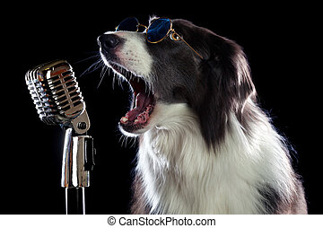 Beautiful border collie dog singing into a microphone