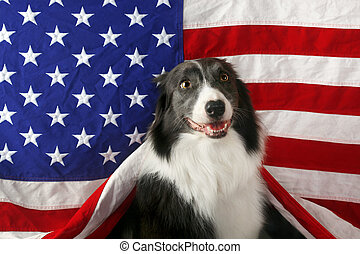 Beautiful border collie in front of a USA flag