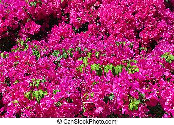 Beautiful bougainvillea background