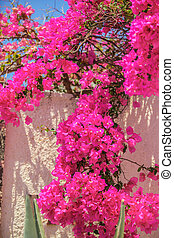 Beautiful bougainvillea on old traditional White House in...