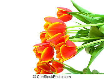 bouquet of orange tulips on a white background