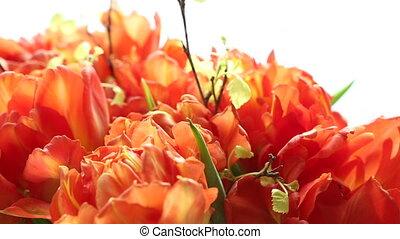 Beautiful bouquet of orange tulips. Video blur and focus.