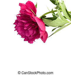 Beautiful bouquet of pink peonies on a white background isolated