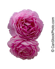 beautiful bouquet of pink roses isolated on a black background.