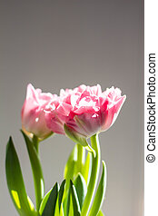 Beautiful bouquet of pink tulips on a grey background
