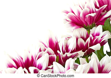 beautiful bouquet of red chrysanthemums on a white background