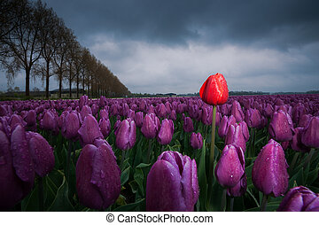 Dark clouds are gathering over a field with Netherland tulips. Spring has its swings in the weather. A rainstorm has just passed over and the drops still hang from the flowers. A single tulip stands out as an outsider above ground level and stands tall as a foreigner among others