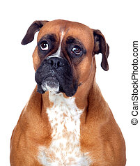 Beautiful Boxer dog isolated on white background
