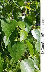 Beautiful branch of a spring birch