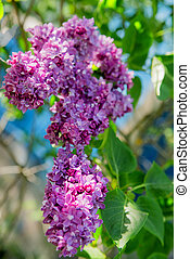 Beautiful branch of lilacs on a summer day
