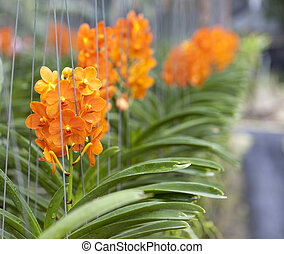 Beautiful branch of orange flowers of orchids. Orchid Garden...
