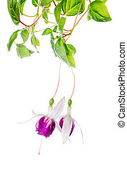 beautiful branch of red and white fuchsia flower is isolated on