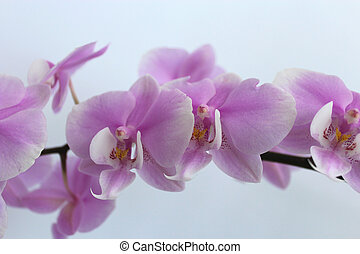 branch of the blossoming pink orchid
