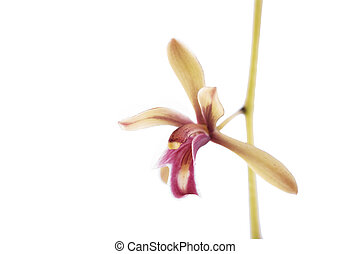 Beautiful branch yellow orchid isolated on white background