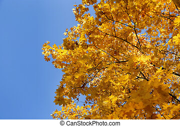 Beautiful branches of bright yellow autumn maple