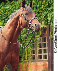 beautiful breed dressage bay stallion posing front stable