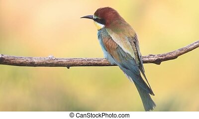 beautiful bright bird bee-eater sits on a branch in the...