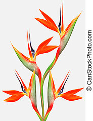 beautiful bright bird of paradise bouquet - bouquet of...