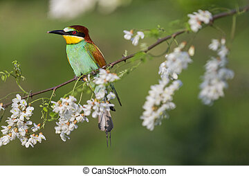 beautiful bright bird sitting on a branch with flowers of white acacia