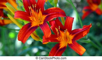 Beautiful bright daylilies on the flowerbed - A Beautiful...