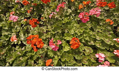 Beautiful, Bright Flowers in a Garden. 1080p FullHD footage
