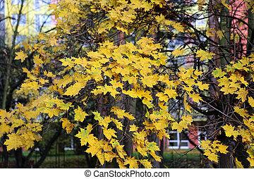 Beautiful bright foliage of autumn maple tree