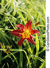Beautiful bright lily in sunlight on the summer garden