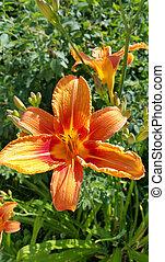 Beautiful bright Orange daylily on a sunny summer garden