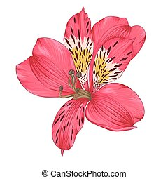 Beautiful bright pink alstroemeria with watercolor effect...