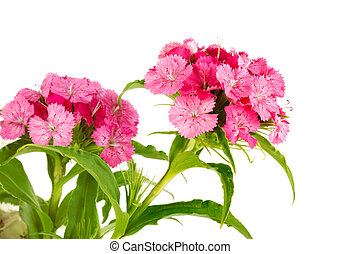 Beautiful bright pink flower Dianthus barbatus, Clade ...
