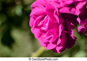 Beautiful bright pink rose flower lit by the bright sun in a summer garden close-up