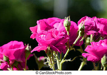 Beautiful bright pink roses lit by the bright sun in a summer garden close-up