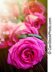 beautiful bright pink roses