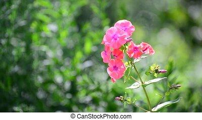 Beautiful bright pink varietal phlox close-up