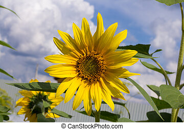 beautiful bright sunflower close-up against blue sky with cumulus clouds