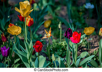 Beautiful bright tulips on a dark blurred background in spring. Shallow depth of field. Toned image, copy space