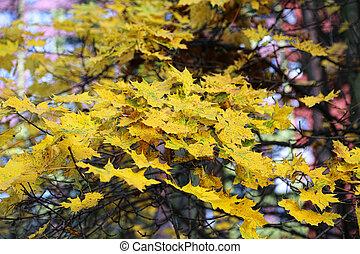 Beautiful bright yellow foliage of autumn maple