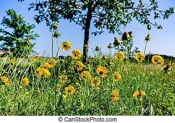 Beautiful Bright Yellow Lanceleaf Coresopsis Wildflowers in a Field.