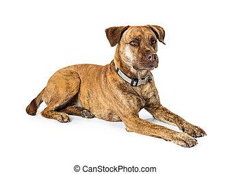 Beautiful Brindle Medium Size Dog